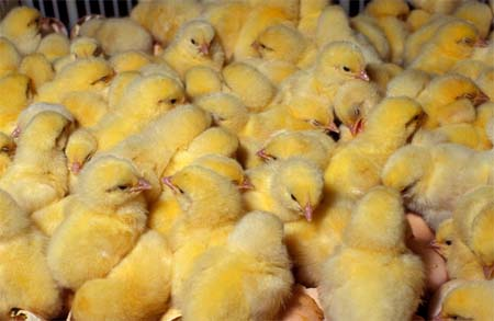 poultry_chicks